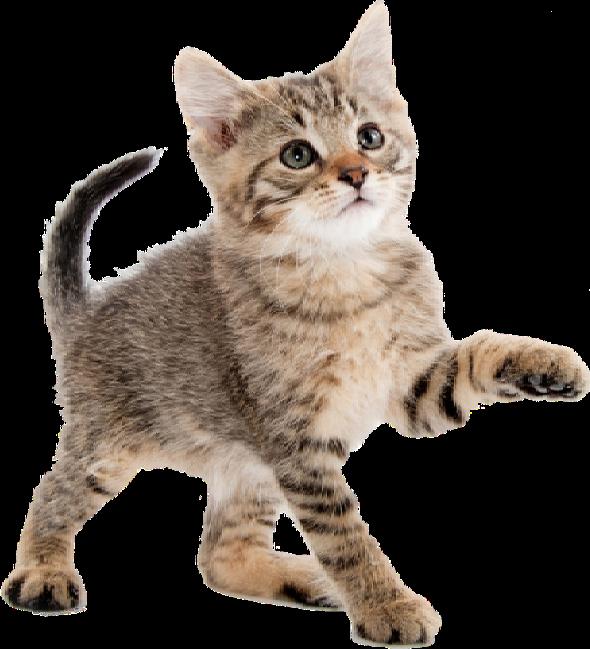 sinpulgas-gato